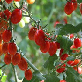 tomate cerise olivette bio