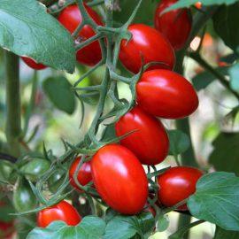 tomates roma bio alsace