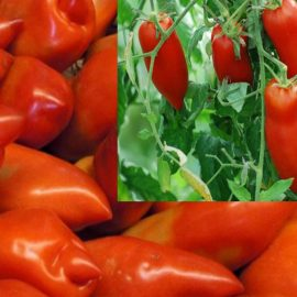 tomate cornue bio