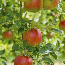 Pomme Elstar Bio Alsace