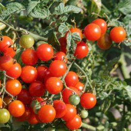 tomates cerises bio