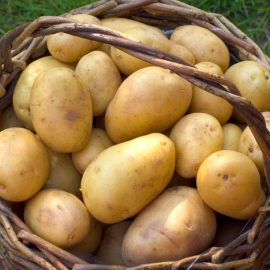 Pomme de Terre Agatha Bio Alsace