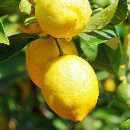 Citrons jaunes Bio Italie