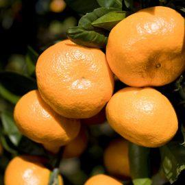Mandarine Bio